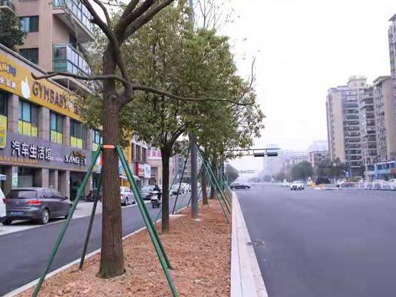 福建省厦门市沿街公里树木防台风支撑工程